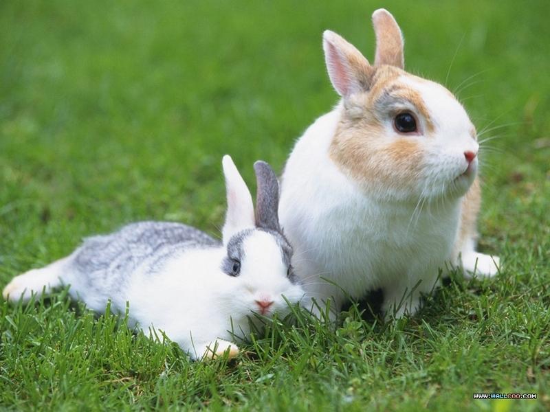 宠物宝贝(三)--可爱兔子壁纸图片