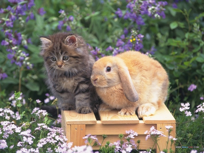 壁纸库 动物壁纸 宠物宝贝(三)--可爱兔子 宠物宝贝(三)--可爱兔子57