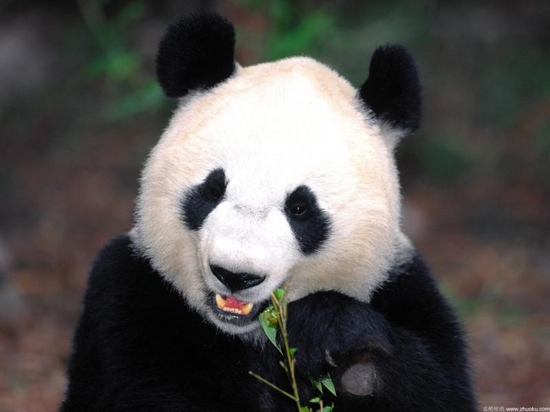 超好看的动物熊猫桌面背景